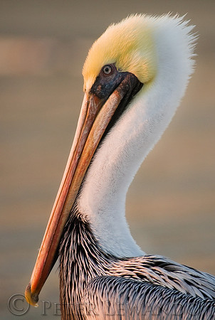 Cape Point Pelican<br /> Cape Hatteras National Sea Shore