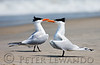 Royal Terns Marching<br /> Cape Hatteras National Sea Shore