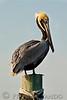 Hatteras Fish House Pelican<br />    Cape Hatteras National Sea Shore