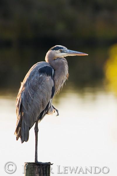 Great Blue Heron<br /> Cape Hatteras National Sea Shore