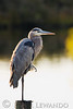 Great Blue Heron<br /> Cape Hatteras National Sea Shore