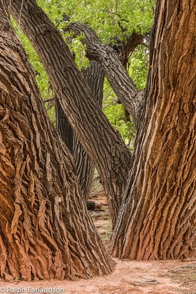 Cottonwood trunks near Fruita Grade School.