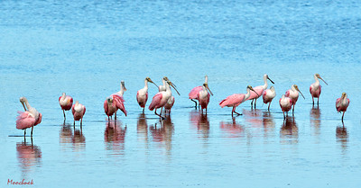 A Bowl Of Spoonbills