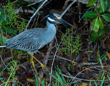 Yellow-crowned Night Heron (Nyctanassa violacea