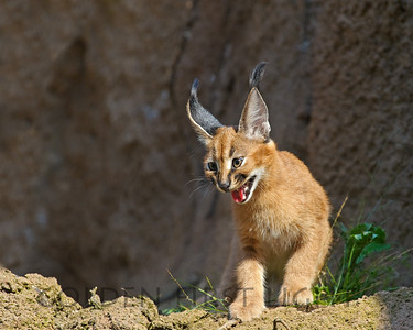 Caracal Kitten born at Oregon Zoo