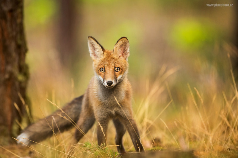 Red Fox - Liška obecná (Vulpes vulpes)
