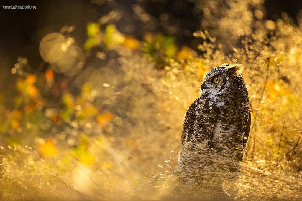 Výr viržinský - Great Horned Owl (Bubo virginianus)
