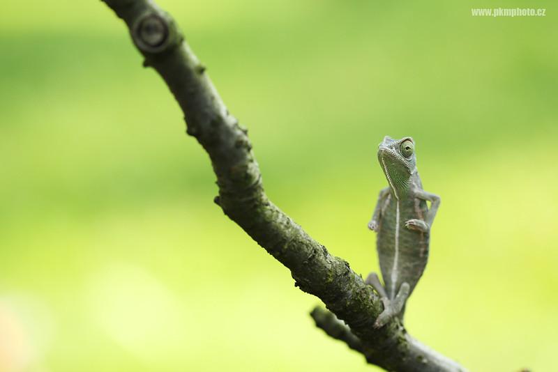 chameleon; captive; Stanice přírodovědců Praha
