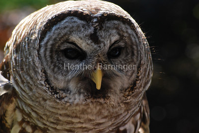 Barred Owl at Penitentiary Glen - Named 'Hunter' - Blind in one eye - will not be re-released