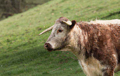 English Longhorn Cow 4