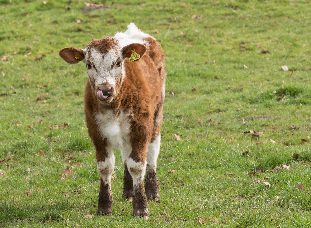 English Longhorn Cow 2