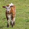 English Longhorn Cow 2