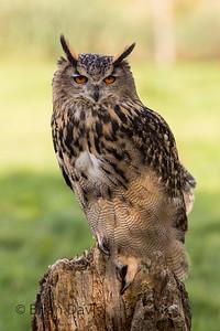 Eagle Owl 1