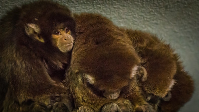 Bolivian Gray Titi Monkey