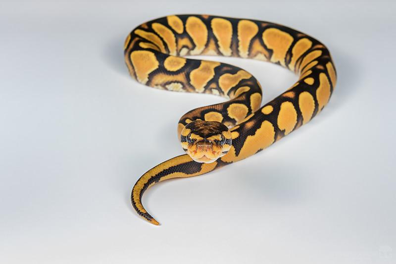 Domestic ball python