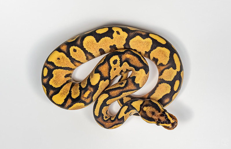 Domestic ball python