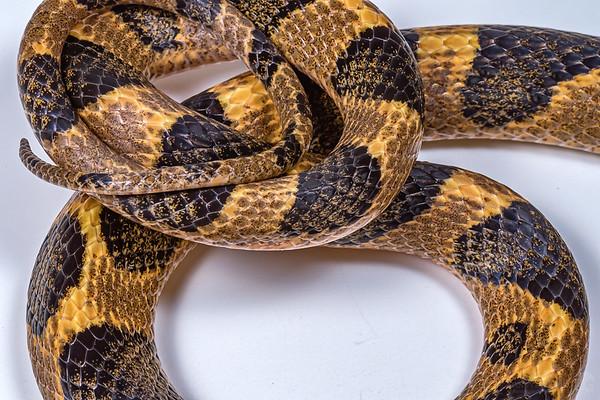 Northern cat-eyed snake