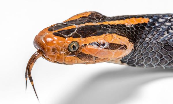 Azemiops sp.