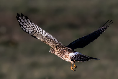 Northern Harrier1342-1
