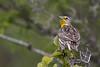 Western Meadowlark - Montana-8407