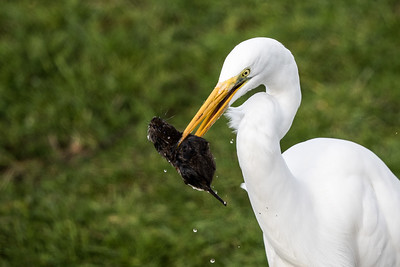 Great Egret and Mole1054-6