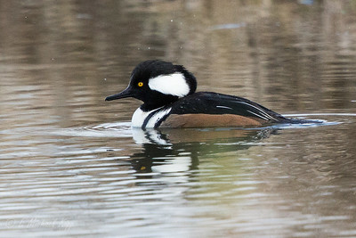 Hooded Merganser - Male  3097-4