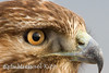 Red-tailed Hawk ( Buteo jamaicensis )-35823582