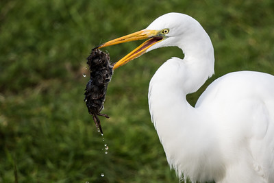 Great Egret and Mole1063-1