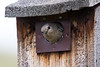 Mountain Bluebird - Female- Montana-8468