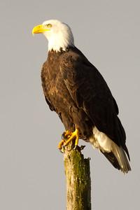 Bald Eagle (  Haliaeetus leucocephalus )-6595