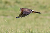Nothern Harrier (1 of 1)