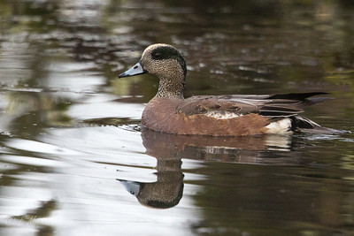 American Wigeon - Male  3085-2