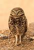 Sonny Bono National Wildlife Refuge - Burrowing Owl