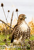 Red-tailed Hawk ( Buteo jamaicensis )-36383638
