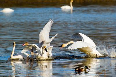 Tundra Swan ( Cygnus columbianus )-7076