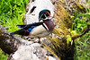 MALE WOOD DUCK -- 8,646 Views