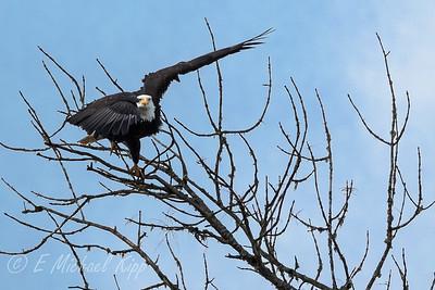 Bald Eagle 4542