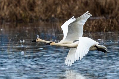 Tundra Swans0916-1
