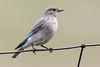 Mountain Bluebird - Female- Montana-8448