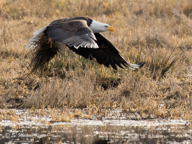 Bald Eagle ( Haliaeetus leucocephalus )-0208