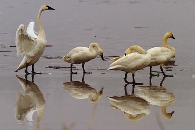 Tundra Swans ( Cygnus columbianus )-7392