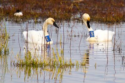 Tundra Swan ( Cygnus columbianus ) Tagged-7154