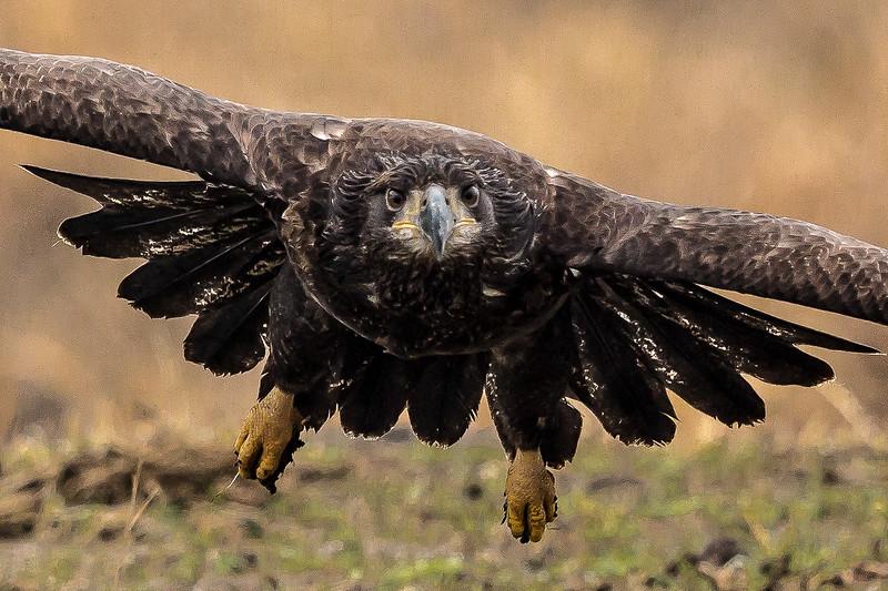 Bald Eagle - Juvenile