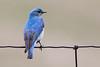 Mountain Bluebird - Montana-8419
