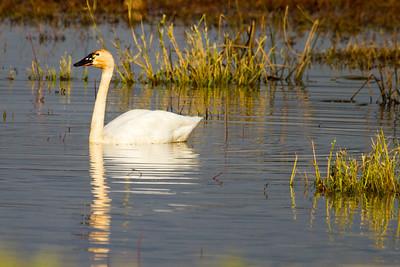 Tundra Swan ( Cygnus columbianus )-7161