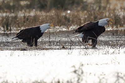Bald Eagle - Adult  3139-17