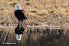 TIME FOR REFLECTION - BALD EAGLE - 15,727 Views