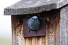 Mountain Bluebird - Montana-8465