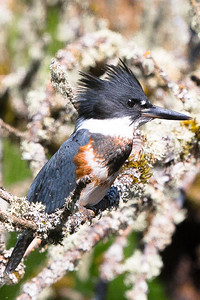 Belted Kingfisher-0202