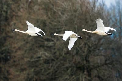 Tundra Swans0959-2